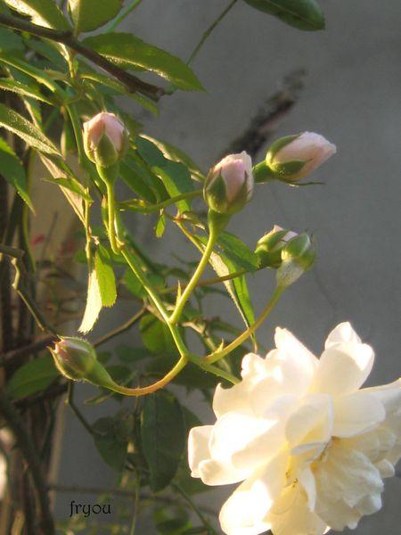 boutons-de-fleurs 1511