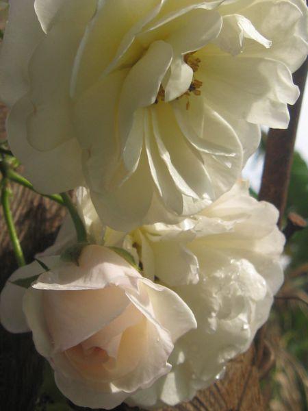 roses-de-mon-jardin 2781