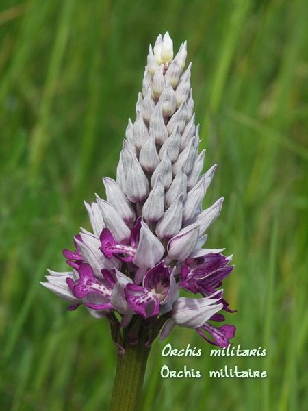 32 orchis militaire