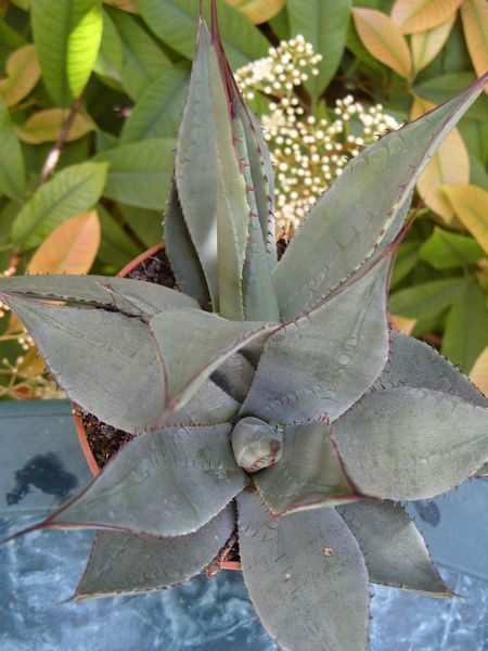 agave parryi (7)