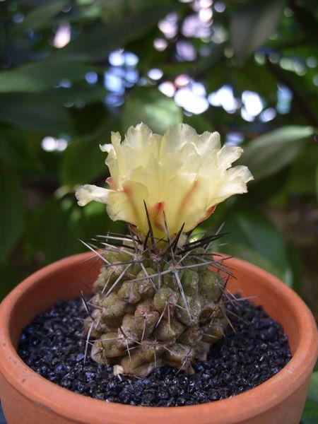 Copiapoa montana (11)