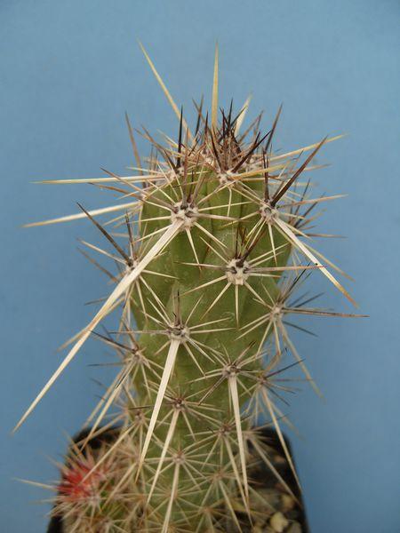 Echinocereus brandegeei (6)