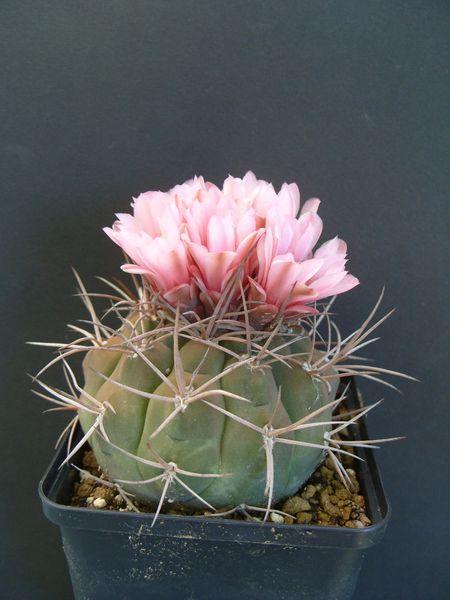 Gymnocalycium castellanosii P80b (1)