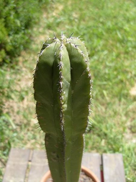 pachucereus marginatus (5)blog