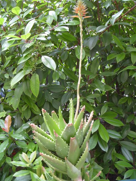Aloe x nobilis (1)-copie-2