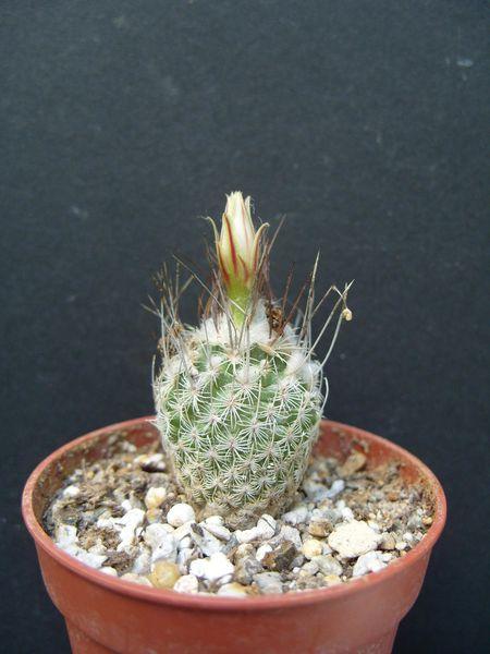 Turbinicarpus schmiedickeanus ssp. gracilis