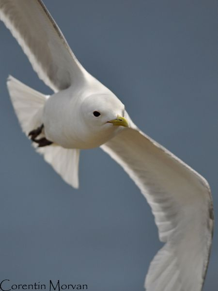 Mouette tridactyle13