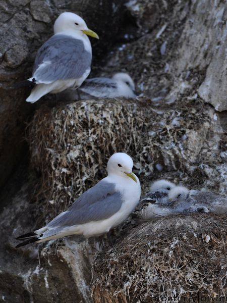 Mouette tridactyle14