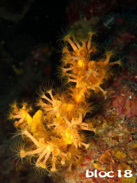 ste-gwelle-bouquet-axinelle-parazoanthus.JPG