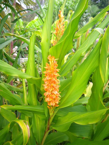 hedychium cautleya roscoea le blog des plantes exotiques rustiques. Black Bedroom Furniture Sets. Home Design Ideas