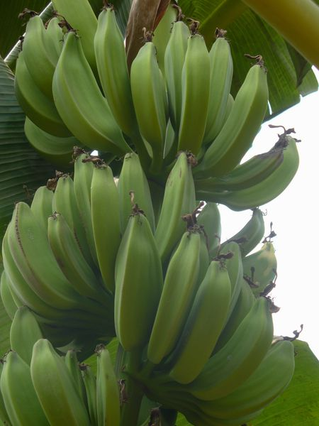 REGIME-bananes.jpg