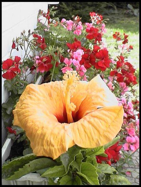 Hibiscus 06.01