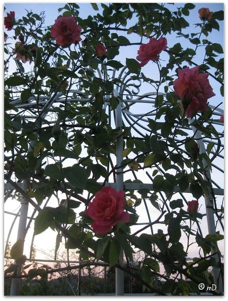 Gloriette rose Meilland 2 K