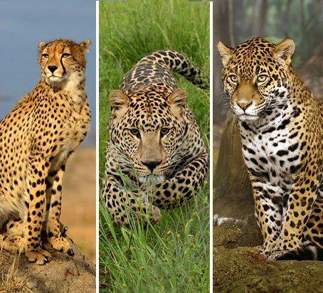 L Info Du Jour Jaguar Gu 233 Pard Ou L 233 Opard On En Parle