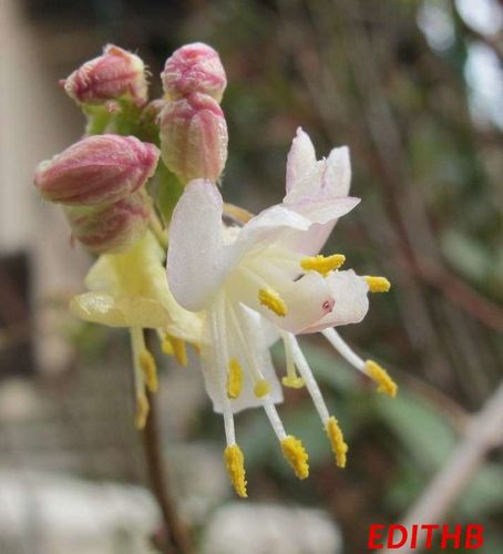 CHEVREFEUILLE LONICERA FRAGRANTISSIMA (4)