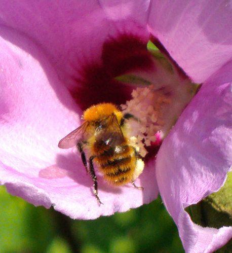 abeille-sur-althea-2.jpg