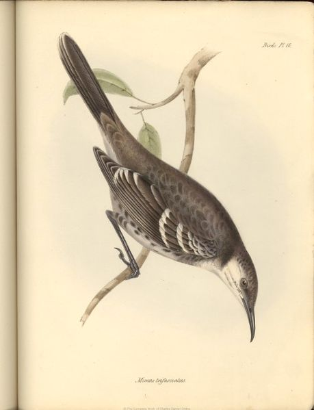 1839_Zoology_of-Beagle-F8_6_fig040-mimus-trifasciatus.jpg