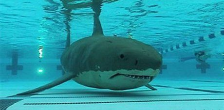 http://img.over-blog.com/460x227/4/22/39/26/Beuvry/piscine/requin-piscine.jpg