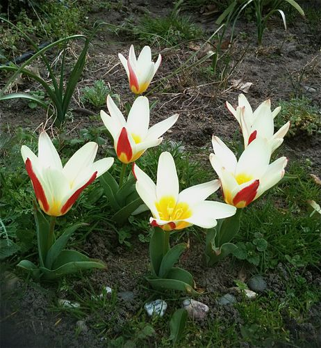 tulipes-the-first.jpg