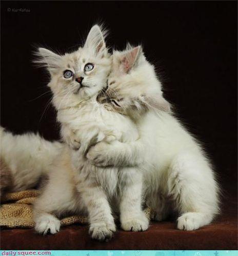 chats-x2-amour-vache.jpg