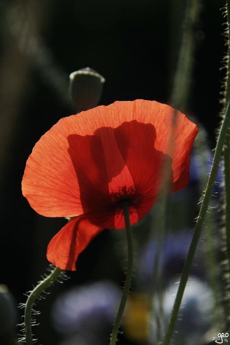 30-06-2012---COQUELICOT-TRANSPARENCE.JPG