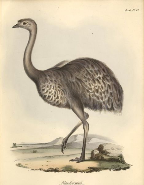 1841 Zoology F8 15 fig067 Nandou de darwin