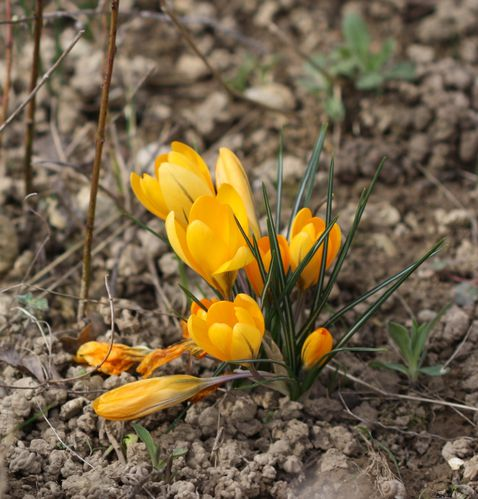 Crocus5--2----Copie.JPG