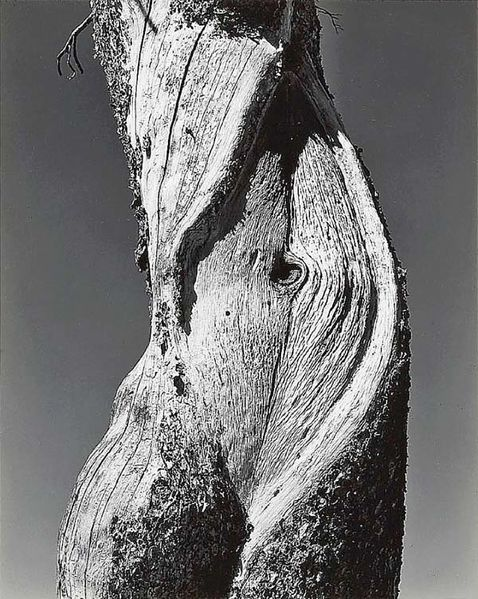 Arbre-Ph Edward Weston