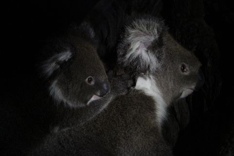 Koalas by night