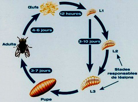 Cycle mouche