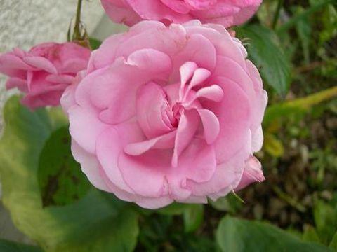 rose3007081.jpg