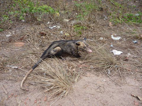 Photo gratuite : Opossum du Brésil