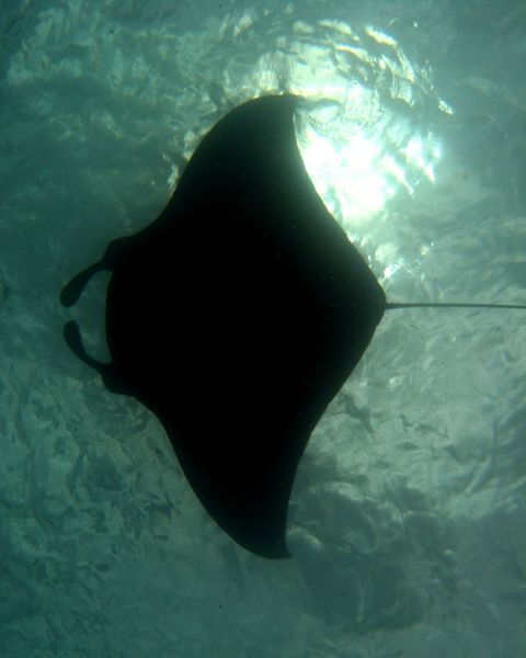 2010-04-05 raies mantas mayotte jc (15)