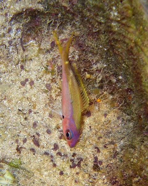 2010-01-21 Anthias (2)