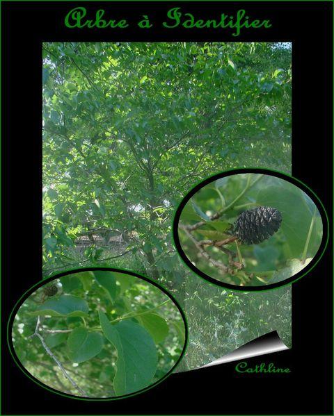 arbre à identifier