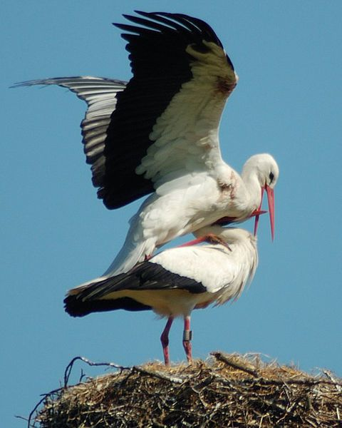 480px-Stork_in_love.jpg