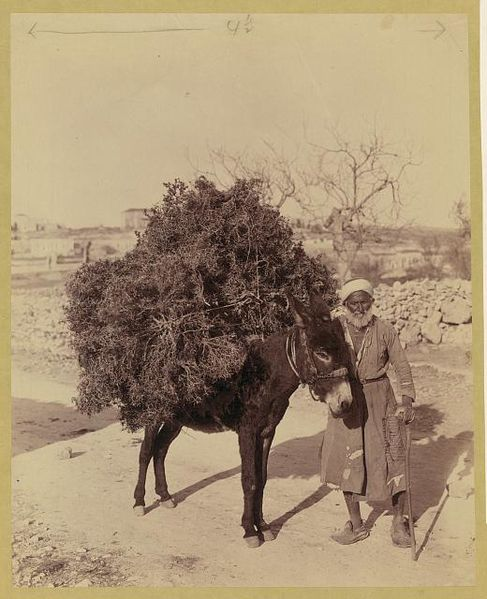 Palestine, transportation, donkey carrying load of roots