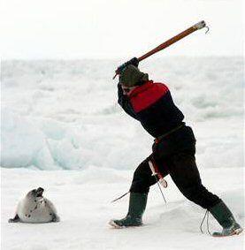 chasse aux phoques tuerie
