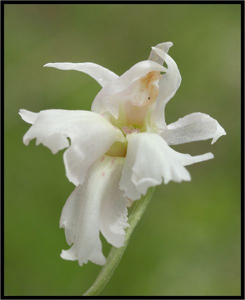 Orchis-maculata-a-3-labelles-9083.jpg