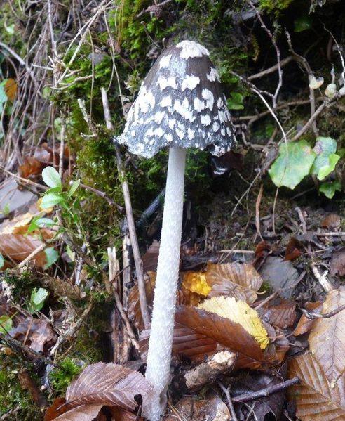 Coprinus picaceus Miolans 2012 (2)