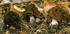 Gyromitra-esculenta.jpg