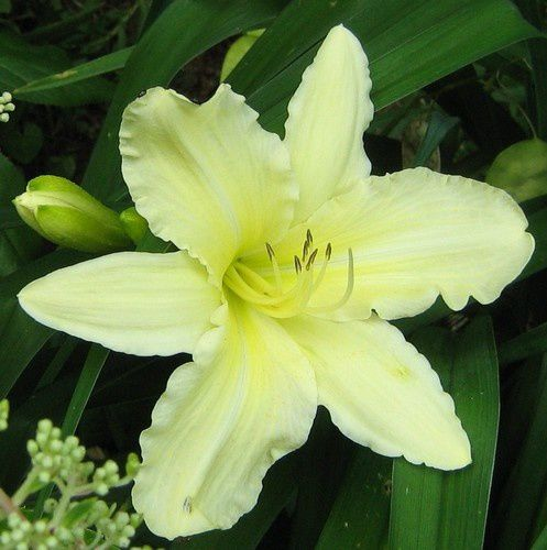hemerocallis-Moment-of-Truth-9-juil-10.jpg