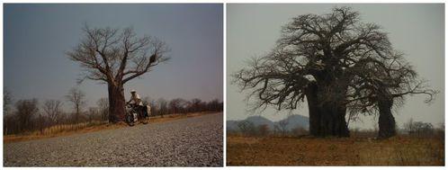 collage zimb baobabs