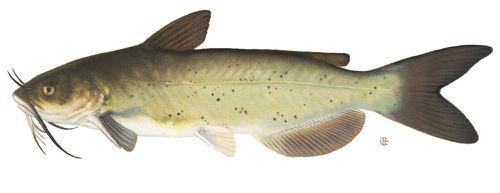 channel_catfish.jpg