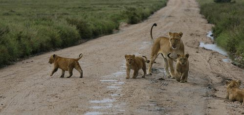 lions-on-the-road.JPG