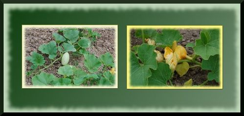 montage-courges.jpg