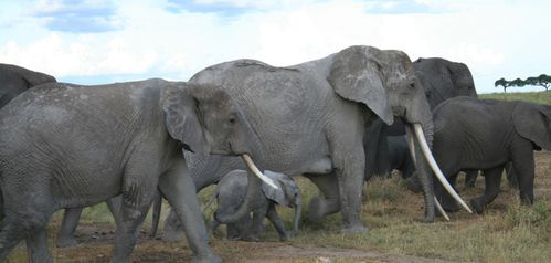 herd-elephants.JPG