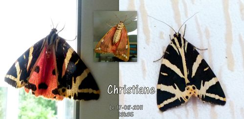 2---Papillons---Ecaille-chinee-Aout-2011.jpg