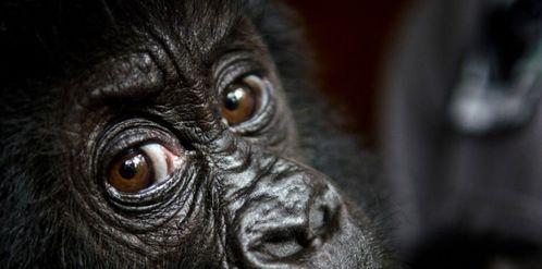 menaces-qui-pesent-sur-les-grands-singes-d-afrique.jpg