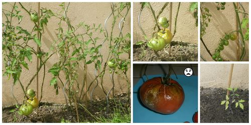 Collage-tomates-jardin.jpg